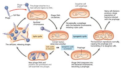 reproduksi virus secara lisogenik, litik lisogenik, perbedaan litik dan lisaogenik