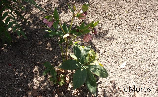 Planta de ROSA DE CUARESMA Helleborus orientalis
