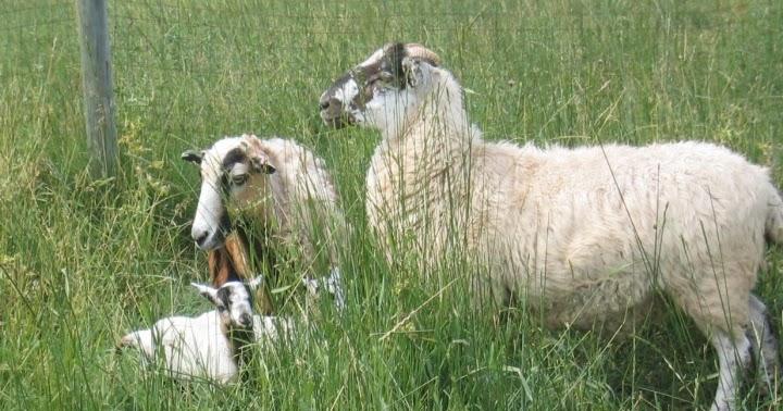 Baa Ram Ewe Sheep: Breeds of Sheep whose Wool is Used for ...