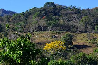 Yellow Flowering Tree, Costa Rica