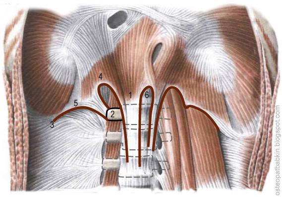 Ножки диафрагмы, латеральная дугообразная связка lig. arcuatum laterale