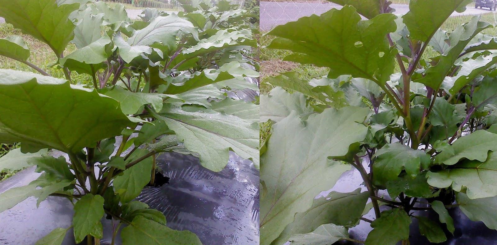 Yang biasanya disana rentan layu, setelah semprot Bio Optifarm tanaman terong jadi sehat dan bebas layu