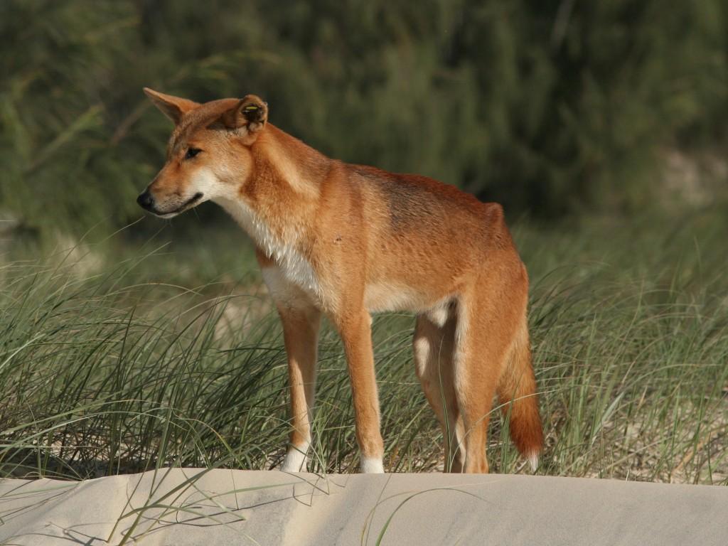 Dingo Wildlife Photos And Info The Wildlife