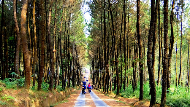 Wisata Hutan Pinus Kragilan di Magelang