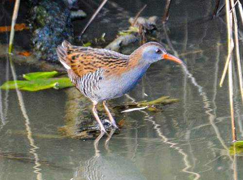 Indian birds - Western water rail - Rallus aquaticus