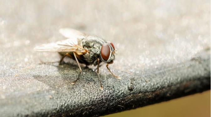 cara-menghalau-lalat