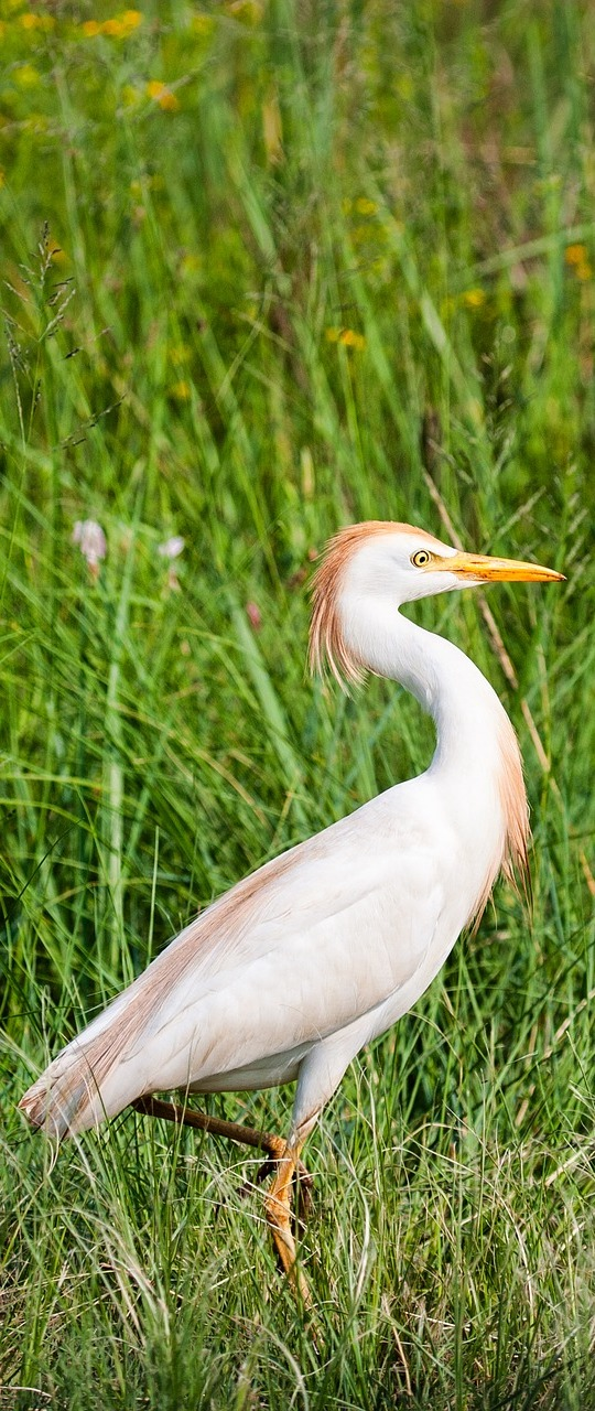 An egret walking through grassland.