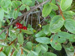 Shépherdie du Canada - Shepherdia canadensis