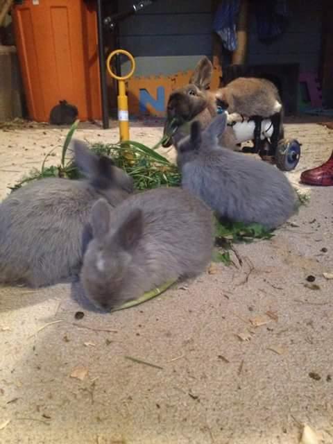 Cara Merawat Kelinci HIAS dan PEDAGING
