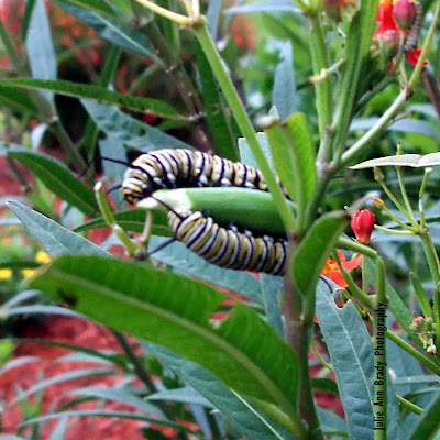 Two Monarch Butterfly Caterpillars Eating Tropical Milkweed Seed Pod June 8, 2018