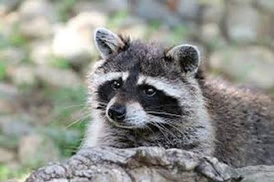 Rakun Racconn hewan khas Amerika utara - berbagaireviews.com