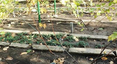 внесение золы на винограднике осенью