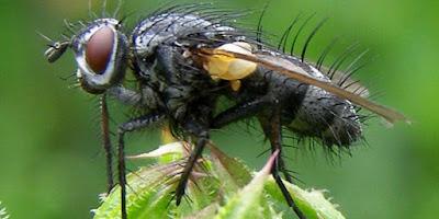 ωφέλιμα έντομα-Tachinid μύγες
