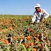 AGRICULTURA: Governador pede insenção de ICMS da Produção de Tomate