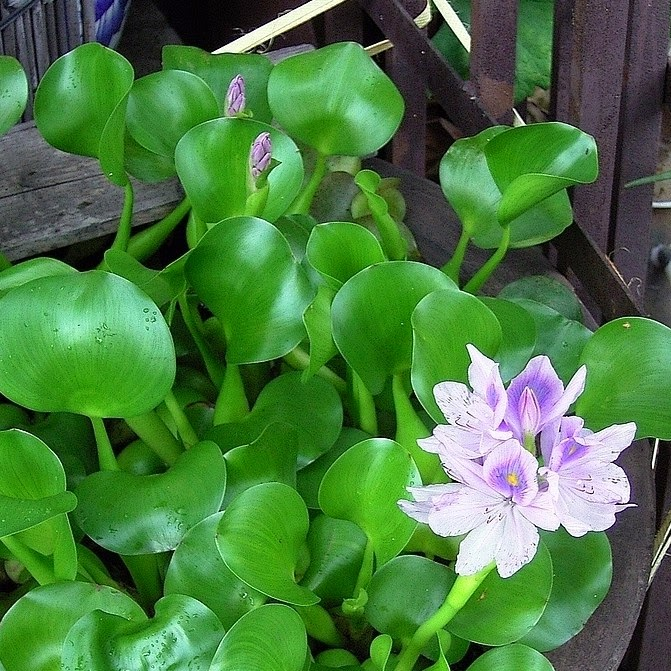 water hyacinth turning yellow