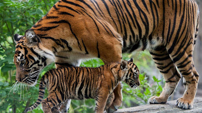 tiger-mummy-with-her-little-cub-baby-hd
