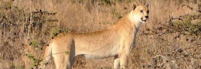 Cranio ghepardo gigante Argentario scoperto dentro roccia