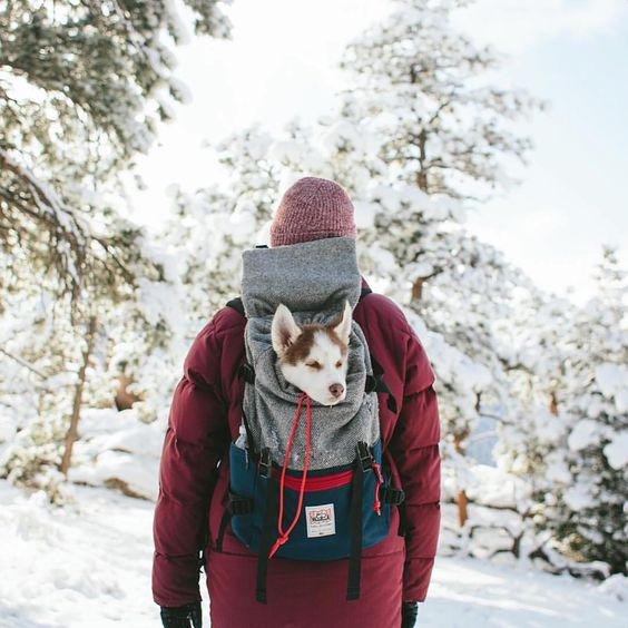 Beautiful winter scene with husky dog puppy in backpack