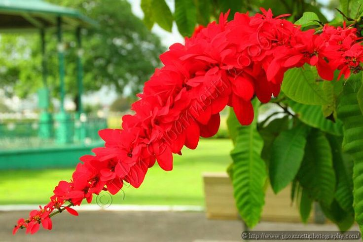 The National Flower Chaconia Warszewiczia Coccinea Vahl Kl Called Wild Poinsettia Or Pride Of Trinidad And Tobago Is A Flaming Red Forest