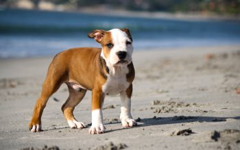 Wallpaper: Pitbull Puppy