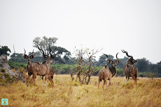 Kudus en la Reserva de Moremi de Botswana