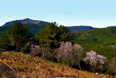 El Montmell, ametllers florits, per Angela Llop a Flickr