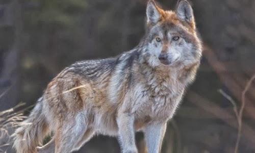Problemas Para El Lobo Mexicano Sin Su Ecosistema