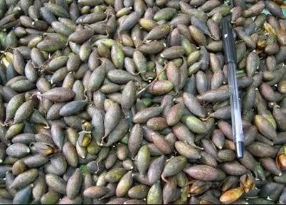 cara pembibitan pohon suren dengan biji gambar 2016