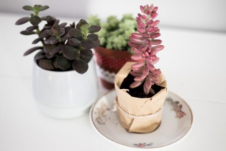 suculentas-blog-oliandmoli-7-plantas-navideñas
