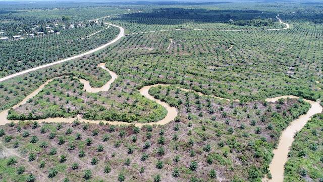 Gaya PTPN VI Jambi, Replanting Sawit di Bibir Sungai