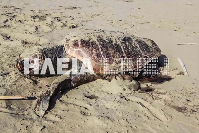 Εικόνες σοκ στο Κατάκολο: Βρίσκουν νεκρές και χτυπημένες θαλάσσιες χελώνες στην παραλία