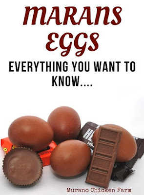 marans eggs. dark brown (almost chocolate colored) eggs from the Marans hens.