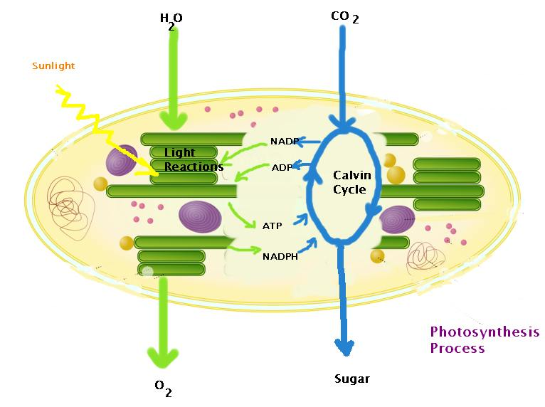 What Is the Process of Photosynthesis?