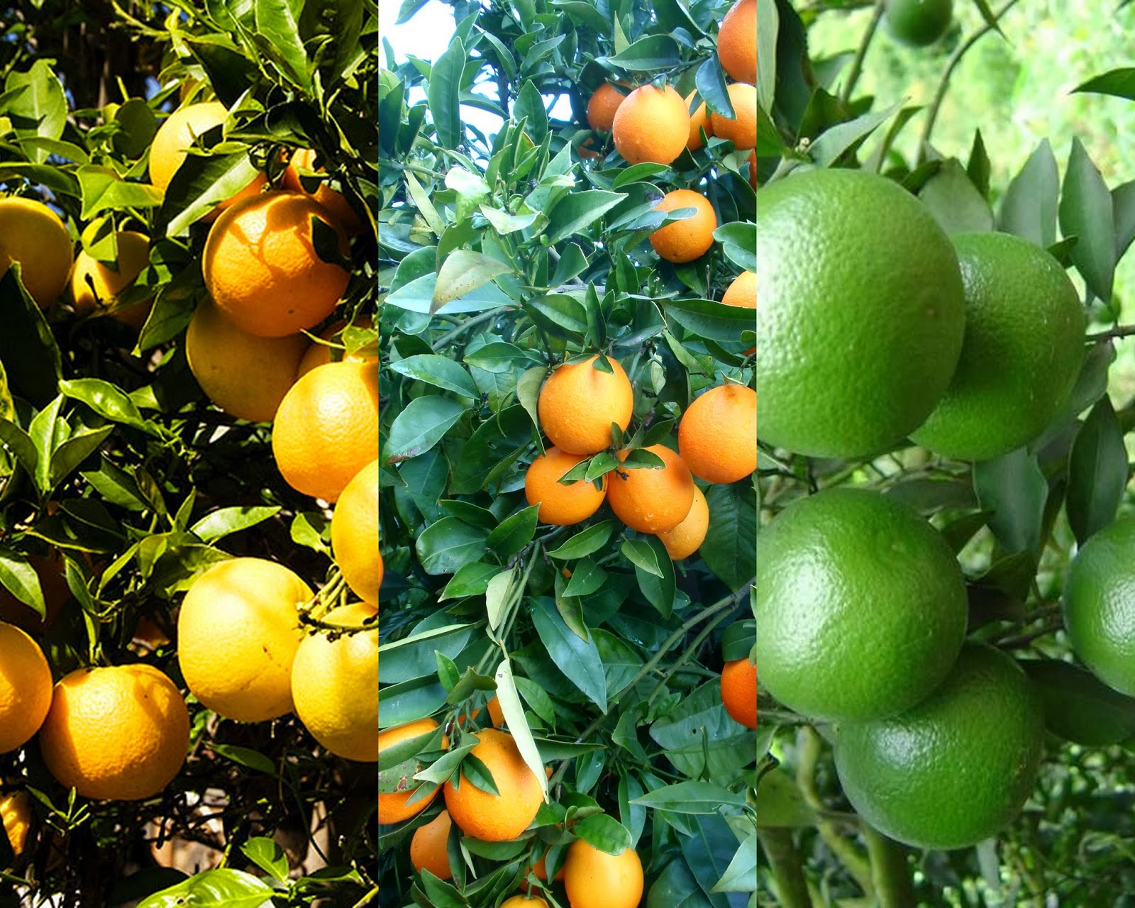 Summary -> Green Oranges On Tree Picture - stargate-rasa info