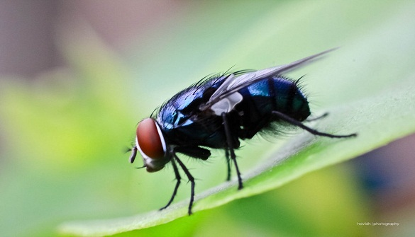 lalat hama