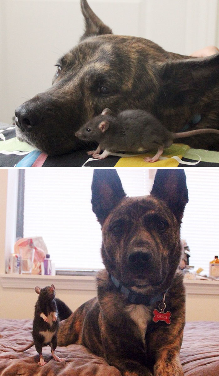 50 Heart-Warming Photos of Animals Growing Up Together - Rescued Pet Rat Riff And Osiris Best Friends Forever