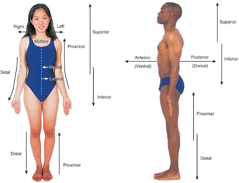 Anatomical Positions, Directions and Planes SCIENCE AT YOUR DOOR STEP - anatomical position