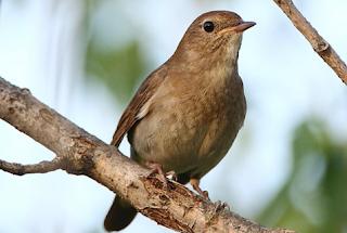 Download Suara Burung Flamboyan Jantan Untuk Masteran