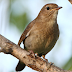 Download Suara Burung Flamboyan Jantan Mp3 Untuk Masteran