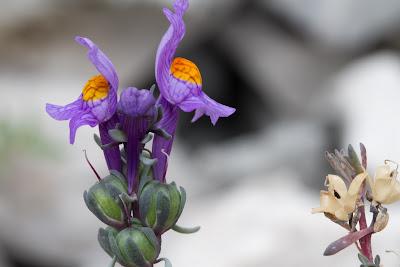 Linaria alpina – Alpine Toadflax (Linajola alpina)
