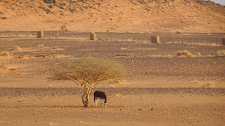 Sudanese Donkey under the tree