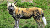 african wild dog_Lycaon pictus pictures