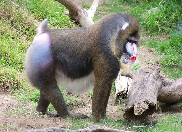 Mandrill - Facts, information and pictures 3