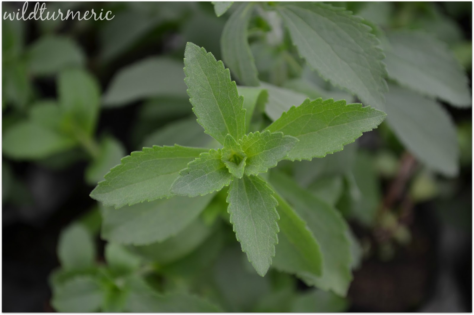 6 Top Benefits Uses Amp Side Effects Of Stevia Sweet Leaf
