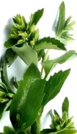 Foto de la planta Stevia