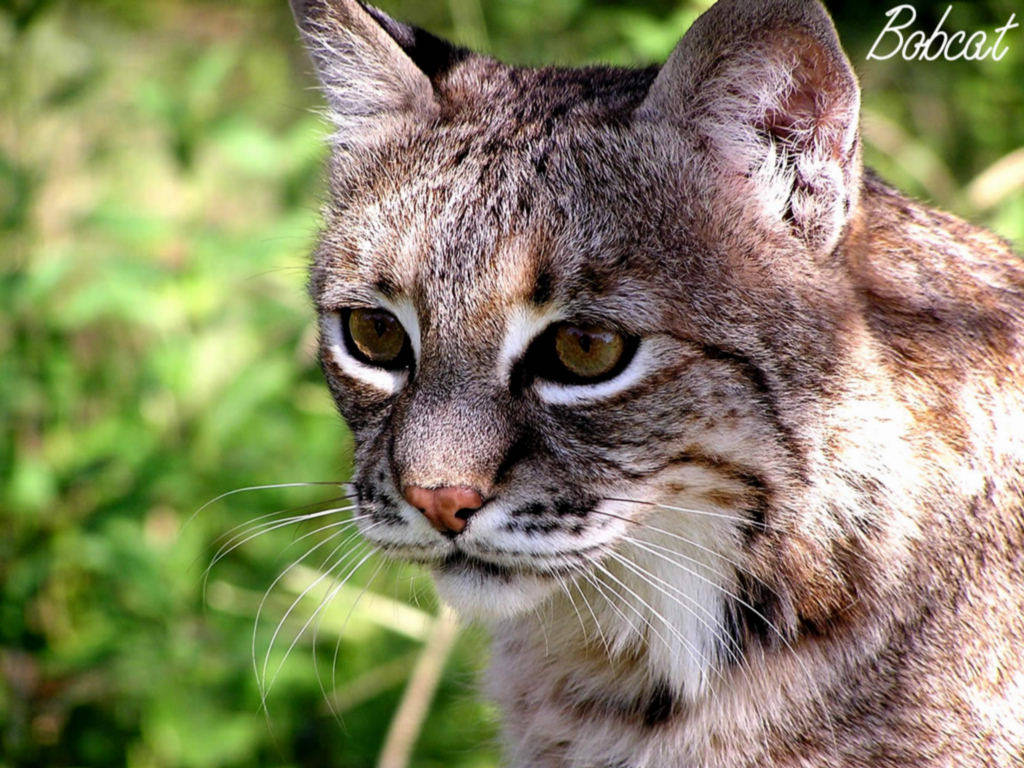 My Background Blog Bobcat Pictures