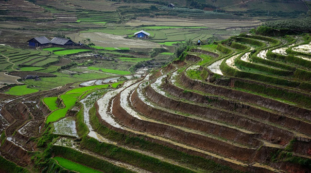 Rice is grown on terraces in Sapa 1