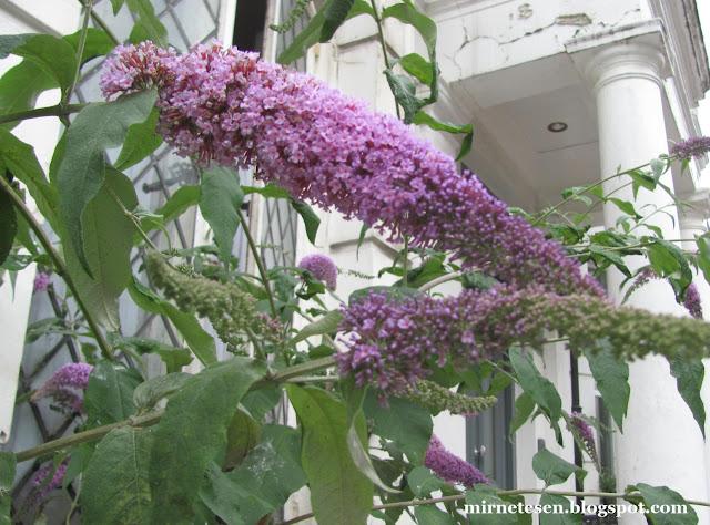 Растение похожее на сирень, Англия