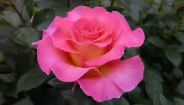 hermosa rosa rosada