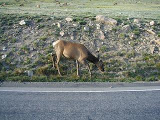 Elk grazing on road shoulder.  Rocky Mountain National Park
